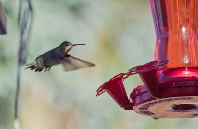 Hummingbird in Cotati, CA
